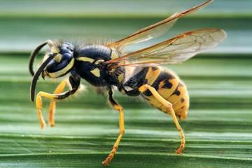 Укус осы или пчелы: что делать?