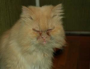 Глубокая пиодермия у кошек