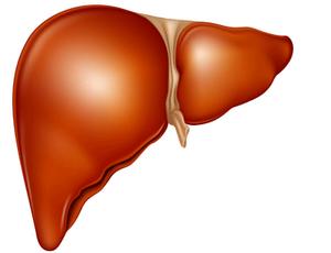 liver-illustration1