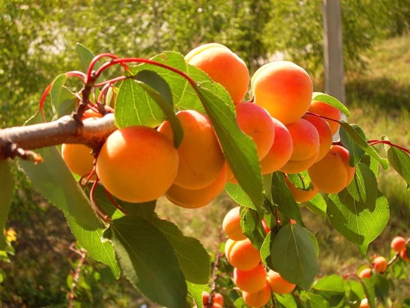 privivka-abrikosa-0